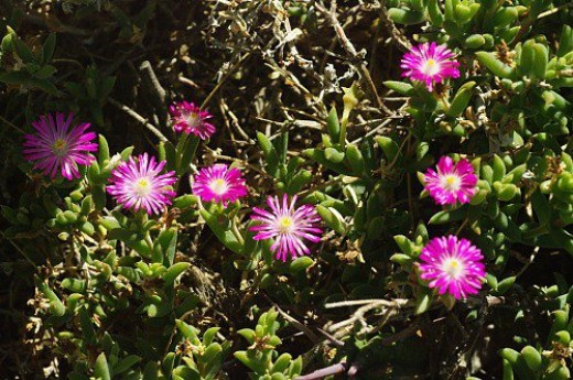 Ice Plant. South Africa.