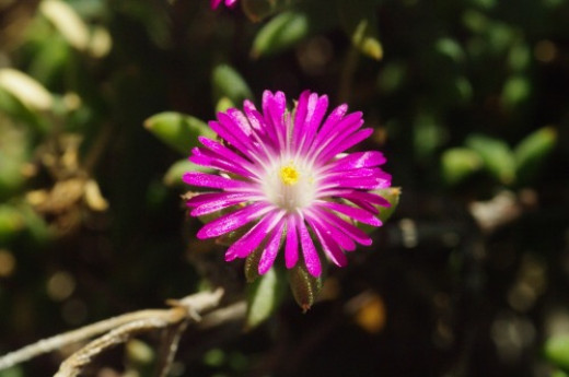 Ice Plant closeup