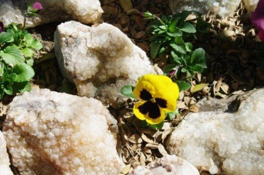 Quartz from the Chiracahuas with a pansy