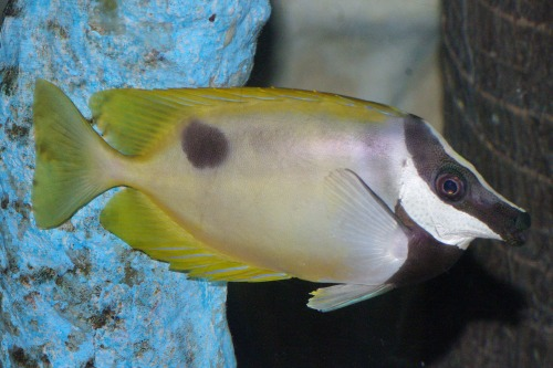 One Spot Foxface - Siganus unimaculatus.