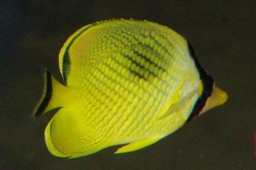 Latticed Butterflyfish - Chaetodon rafflesi.
