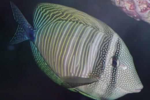 Red Sea Sailfin Tang - Zebrasoma desjardinii.