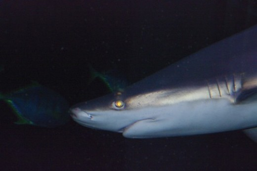 Possibly a Sand Tiger Shark - Carcharias taurus.