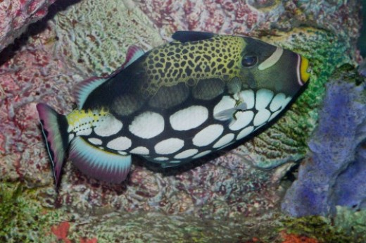 Clown Trigger Fish, aka Bigspotted Triggerfish - Balistoides conspicillum. This is my favorite photo of the afternoon.