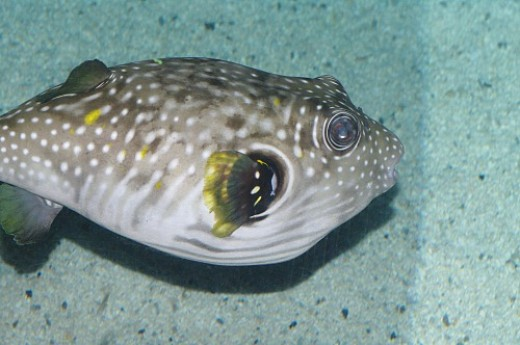 Stars and Stripes Puffer - Arothron hispidus.