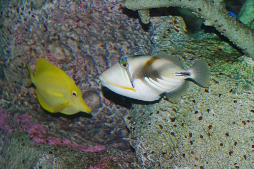 Reef Triggerfish with Yellow Tang. May be a Humu Picasso Triggerfish.