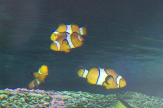 Clownfish - Amphiprion ocellaris. In one tank they had a large school of them. They like to swim among anemones, whose sting doesn't bother them.
