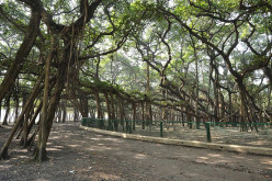 The Banyan Tree Great