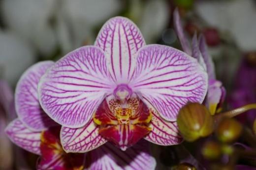 Phalaenopsis Nivacolor