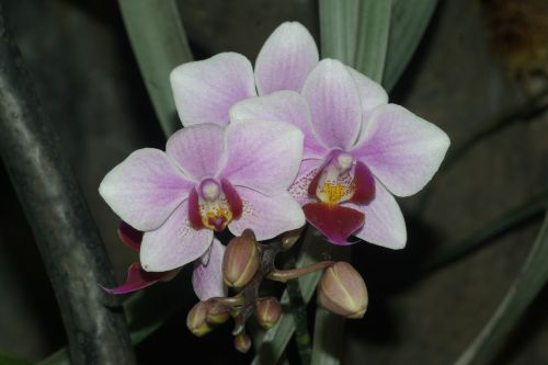 I think this is actually a Cymbidium.