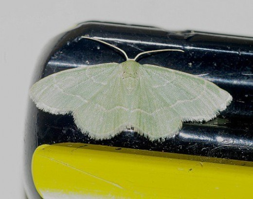 Gematrid Moth. Notice the delicate green, and the screwdriver handle for size comparison.
