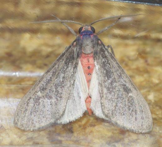 Gematrid Moth with red body.