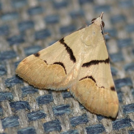 Gematrid Moth. Variation on an earlier pattern. Note the size of the weave of the chair.