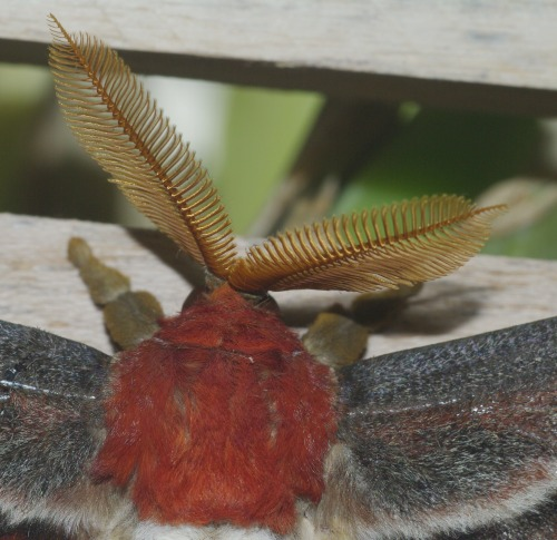 Antennae, head, and upper body of a male Atlas Moth.