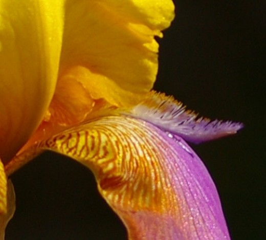 A closer look at that Iris.