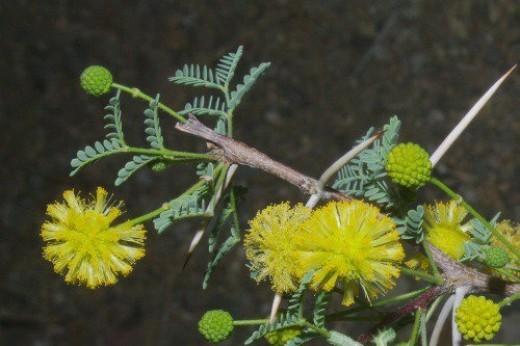 Whitethorn Acacia. Used to make perfume. Desert.