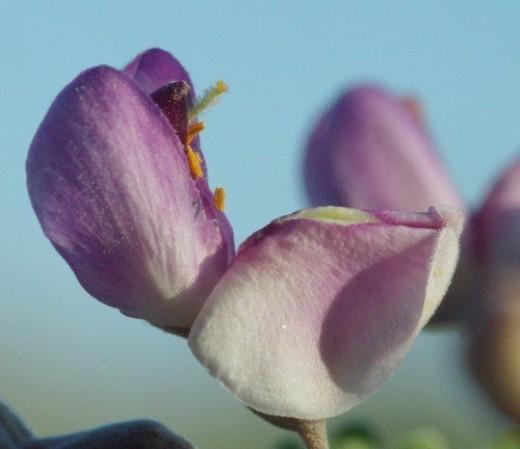 Ironwood Tree flower. Desert.