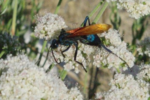 Tarantula Hawk. These have a nasty sting. But they're sure pretty! Rule: you can get up close if you don't threaten, and wasps and bees wont sting.