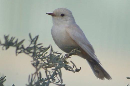 Here's the little leucistic Vermilion Flycatcher seen above.