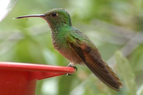 Berylline Hummingbird. Fairly rare. Found in the Huachuca Mountains.