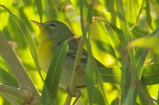Northern Parula. Fairly rare. Found just the other day by the Santa Cruz River at Ina Road, Tucson.