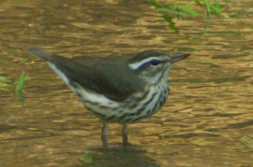 Louisiana Waterthrush. Very rare. Santa Cruz at Ina. 3 in Arizona this year, and I observed all 3. Bushwacking required to reach it.