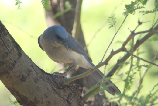 The Mexican Jay I photographed while waiting for the tow truck in Madera Canyon.