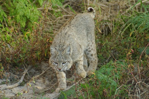 Bobcat. Found in the Santa Cruz riverbed below the Ina bridge. I wasn't scared that time, either. He was at least 50' away and didn't know about me.