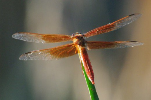 Flame Skimmer. One of about ten species I've seen.