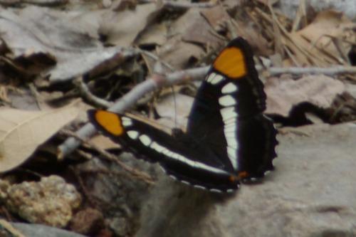 Arizona Sister. Madera Canyon.
