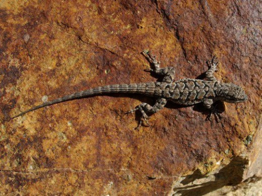 Ornate Tree Lizard. Madera Canyon.