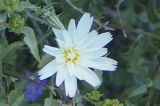 Desert Chicory or Tackstem (can't tell from looking at the top).