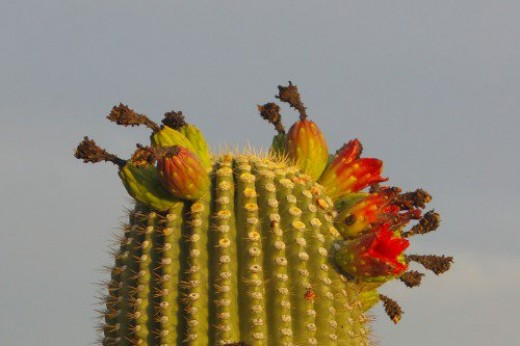 Saguaro fruit. It tastes as good as it looks.