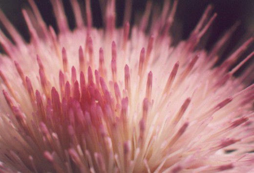 Mexican Thistle, closeup.