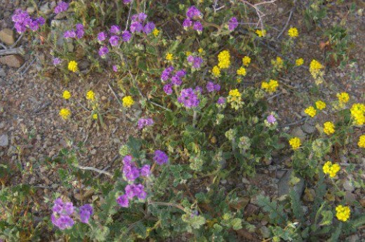 The purple is Scorpionweed, and the yellow is Bladderpod.