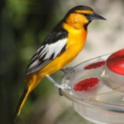 Attract The Hooded Oriole to West Coast Yards and Parks