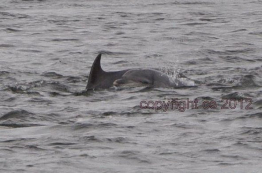 Dolphins at Moray Coast