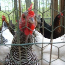 Chickens and Cold Weather: Caring for Chickens in Winter