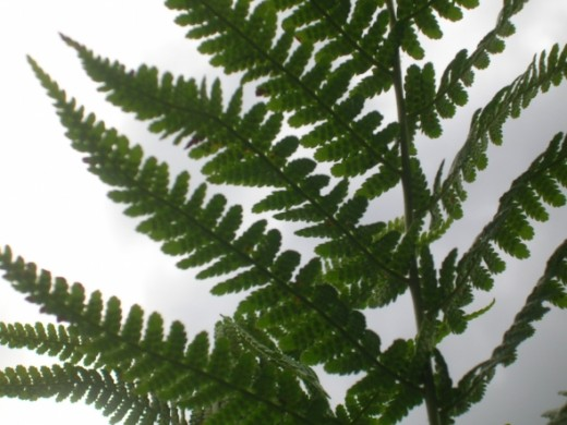 Could this be liquorice returning to the park? Or is it Lady Fern?