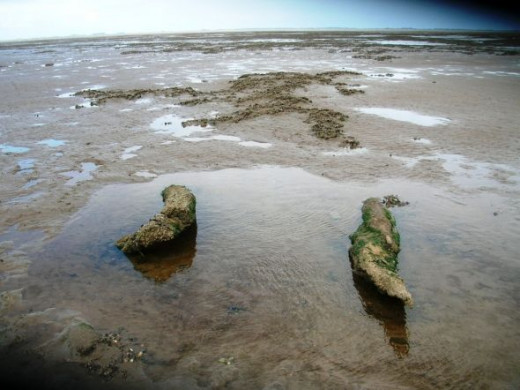 "These ""alligators"" are really petrified timbers. Where once was forest, now there is sand and mud - the forest is petrified. Here you can sink inches down with each step even at low tide."