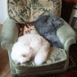The photo shows the two delightful Persian Cats I adopted from Chapelhouse Persian Rescue.