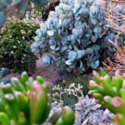 Crassula Ovata - Jade Plant Photos