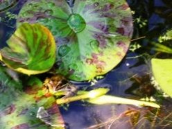 How to make a Movie with Windows Moviemaker - Frogs In The Pond Movie - Froglodite