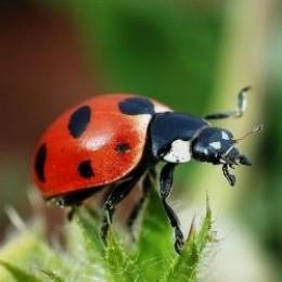 Ladybug (Public Domain)