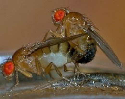 Fruit Fly Love