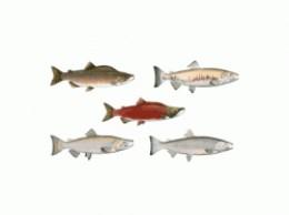 canada salmon