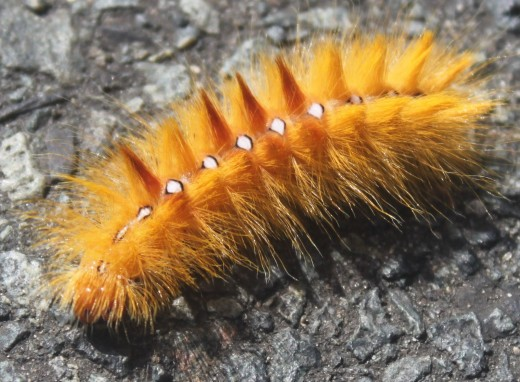 The Sycamore Caterpillar