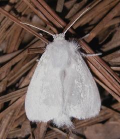 Norape ovina adult moth -- the white flannel moth