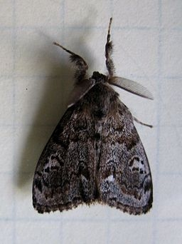 White-marked tussock moth adult