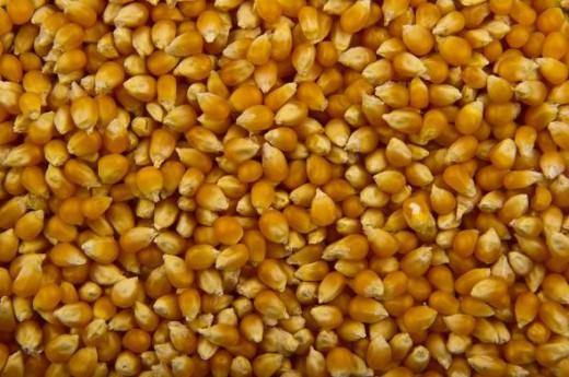 Large yellow popcorn kernels
